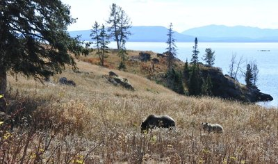 Grizzly Bear pair, heading inland.