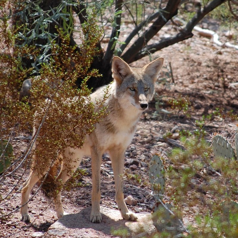 Female coyote @ Zoo.