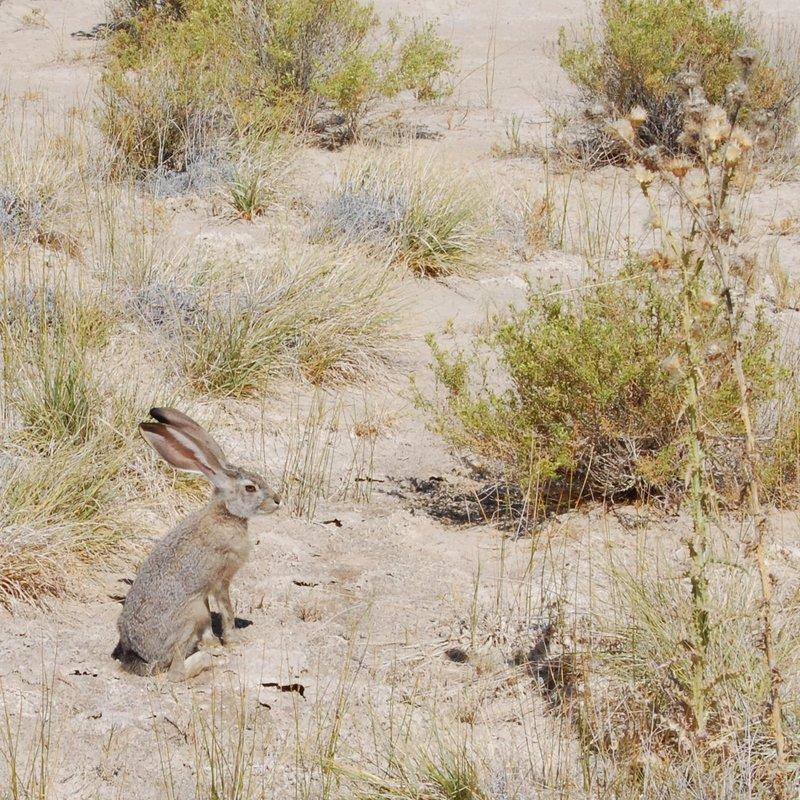 Black-tailed jackrabbit.