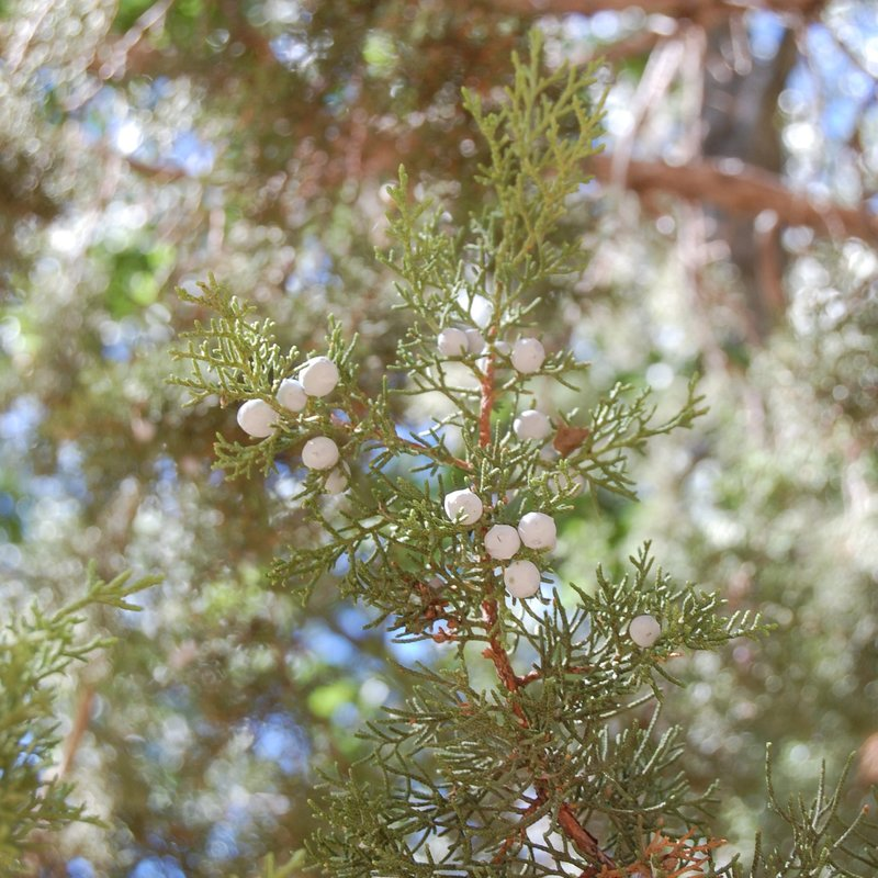 Juniper berries.
