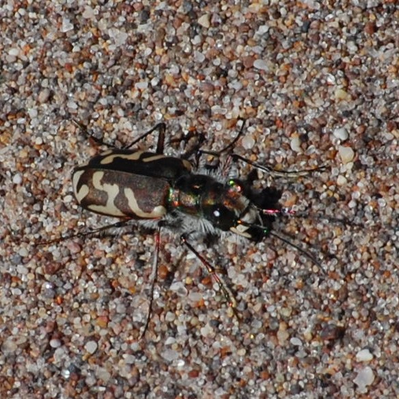 Great Sand Dunes Tiger Beetle.
