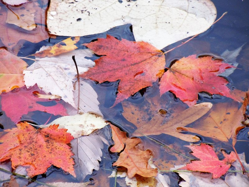 Leaves in Pond - Chestnut Ridge Regional Park