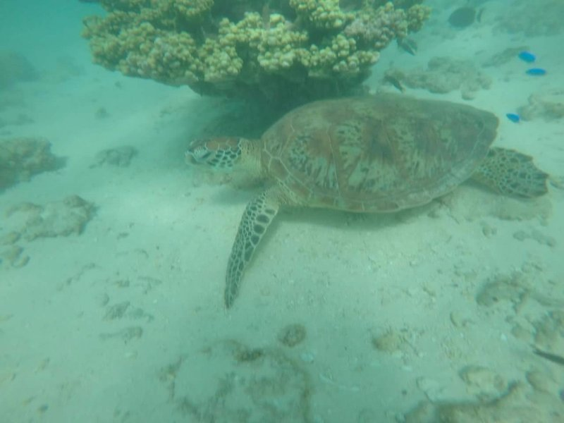 Turtle at ningaloo reef