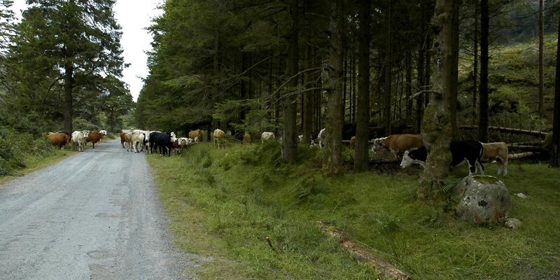 very typical irish cows