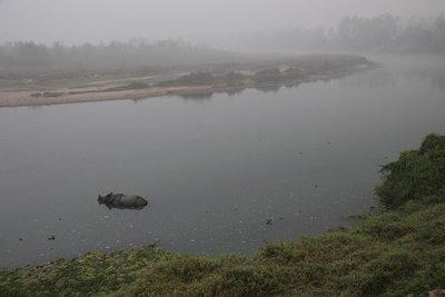 Rhino in the 'Rapti' river