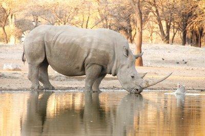 Rhino (Namibia)