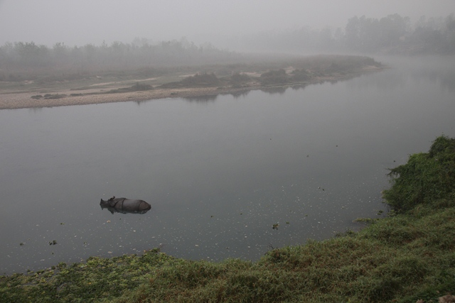 Rhino in the 'Rapti' river