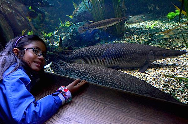 Alligator gars eat small fish and birds