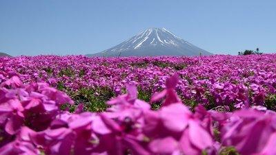 Fuji and Phlox