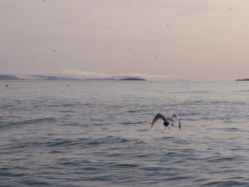 Glaucous Gull with Brunnich Guillemot