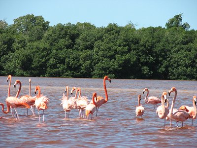 Flamingos in Celetun