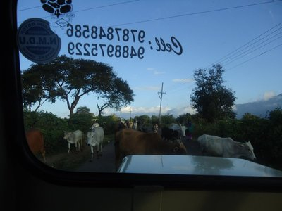 Day 5. Jeep Safari - Cows want to be in the picture too!