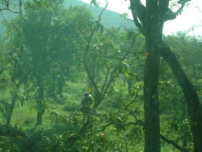 Day 5. Monkeys in Mudumalai National Park