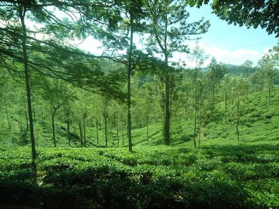 Day 5. View of the tea plantation
