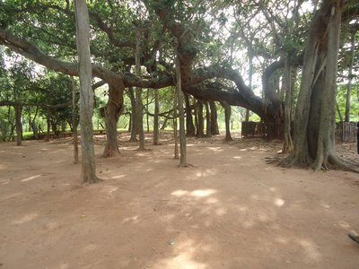 Day 9. Indian Banyan tree