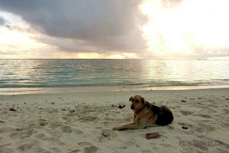 dog on beach cook islands oceania