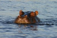 Chobe Hippo, close up