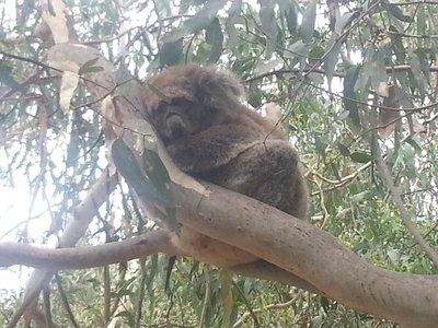 Another cute koala