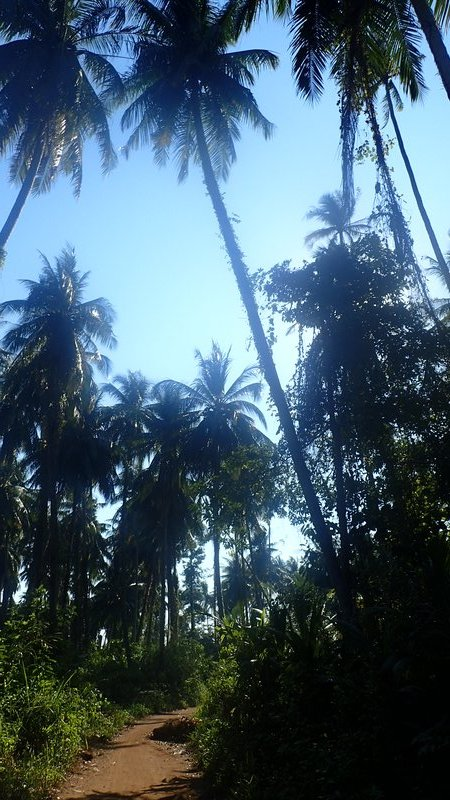 Palm trees on Koh Mak