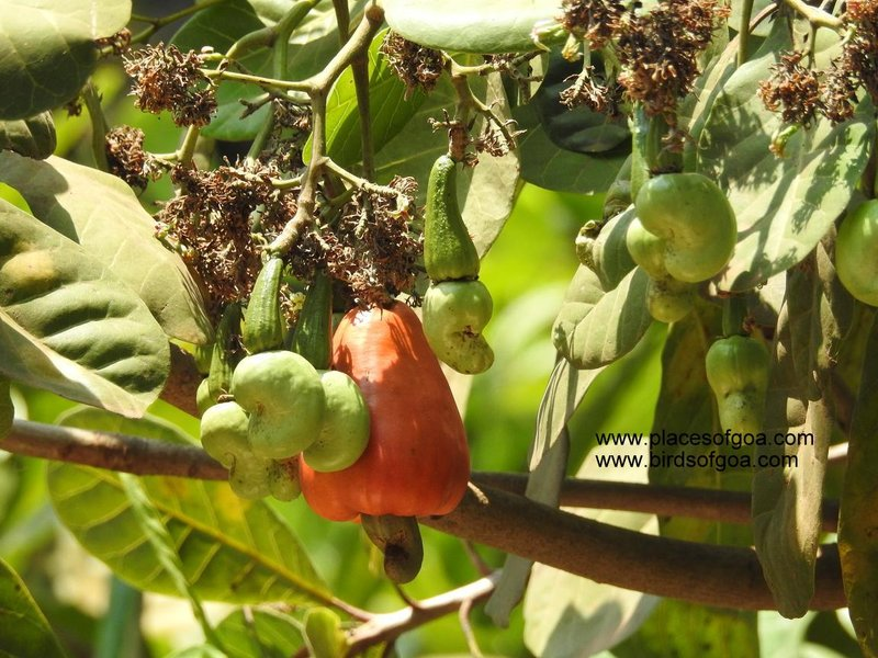 Cashews of Goa