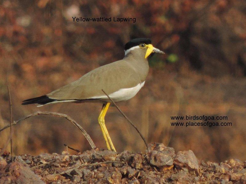 Yellow-wattled Lapwing