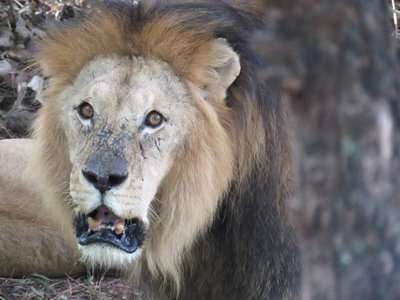 Lion at croc farm, vic falls