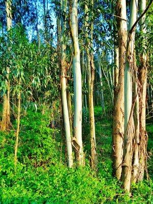 22-Eucalyptus.jpg