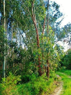 24-Eucalyptus.jpg