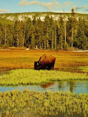 385-Bison.jpg