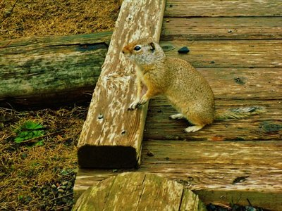 50-Uinta_ground_squirrel.jpg