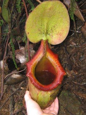 Huge pitcher plant half way up Mt Kinabalu