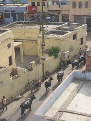 Buffalo crossing, Taj Ganj