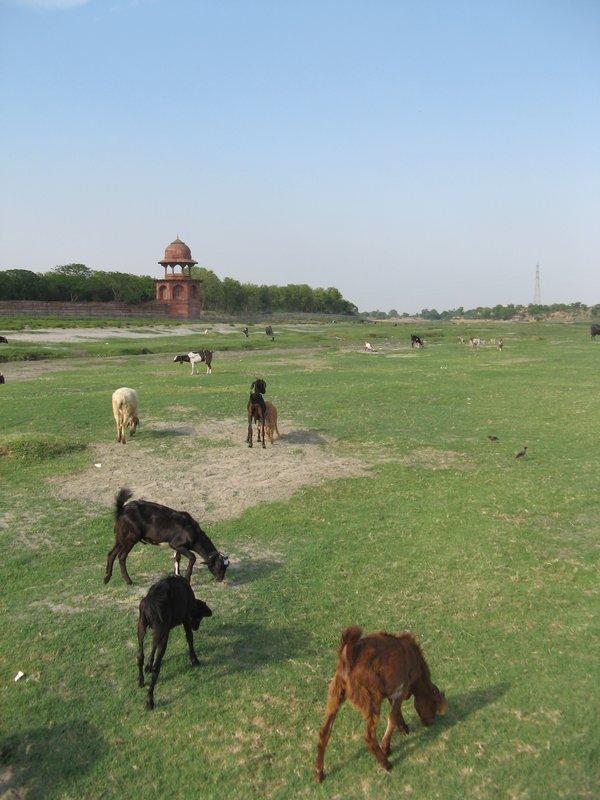 Goats grazing by the Yamuna, across the Taj