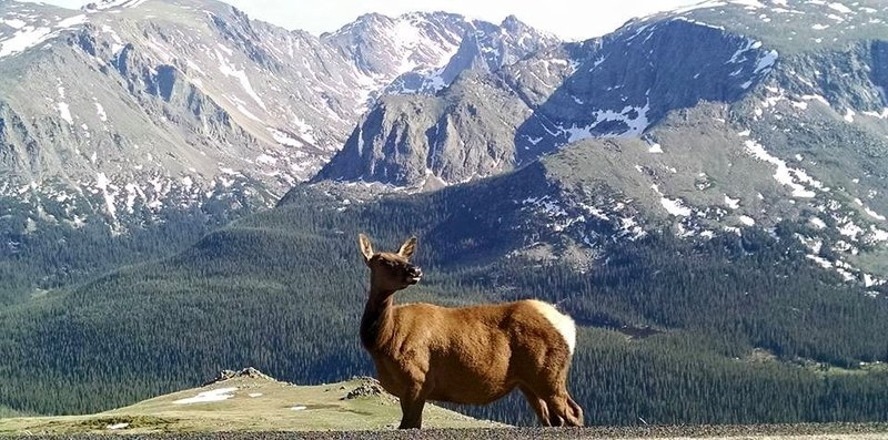 Elk on Trail Ridge