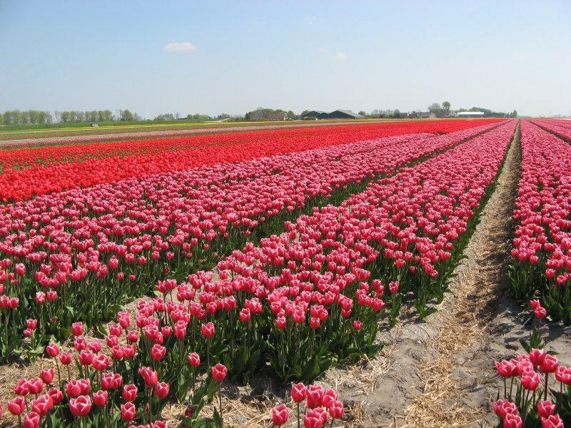 Tulips Farm