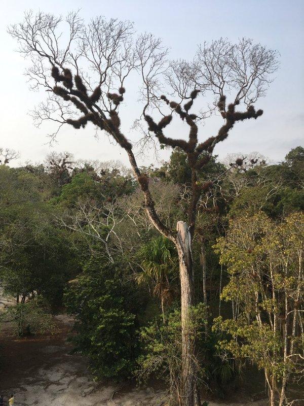 large_Big_Tree_-_Tikal.jpg