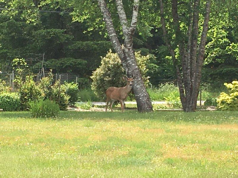 large_Quadra_Isl.._Deer_Eagle.jpg