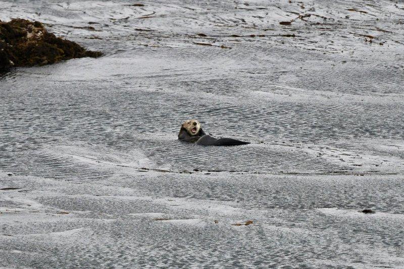 large_Sea_otter.jpg