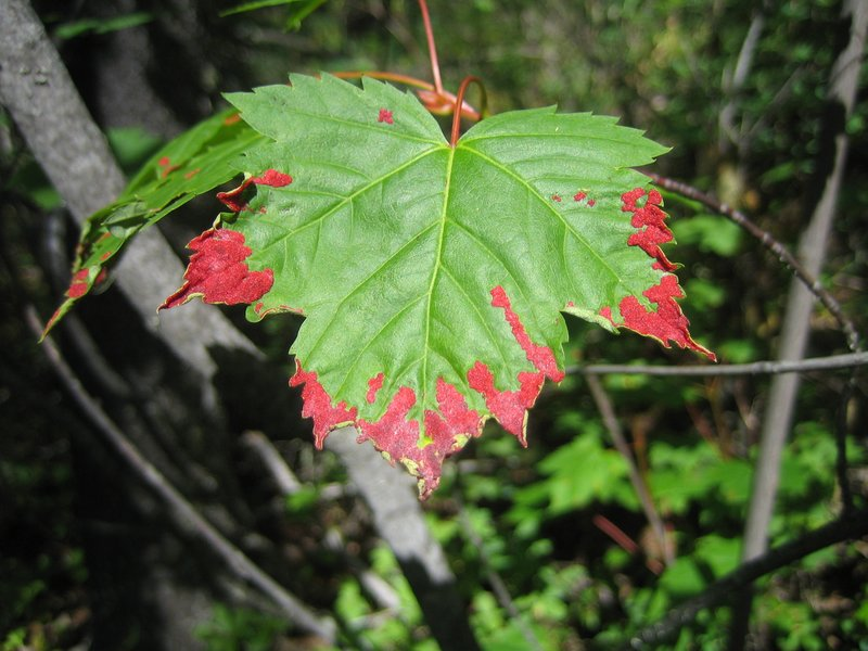 Canadian Leaf on the way to Mount Robson