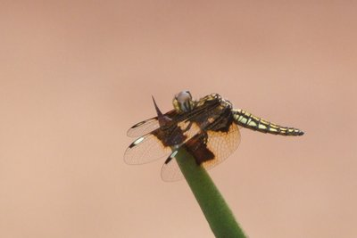 Cragon Fly