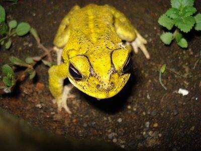 Nicaraguan frog