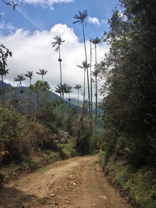 En chemin avec les palmiers géants