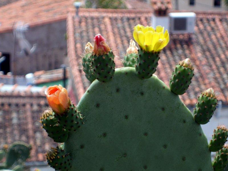 Trujillo, Cactus