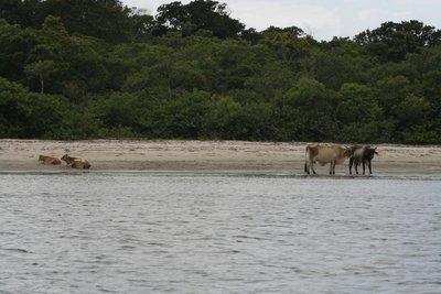 Cows on holiday