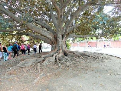Seville_Rubber_Tree_1.jpg