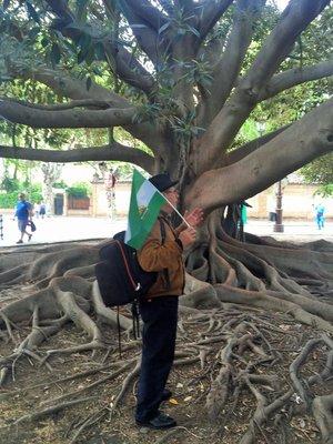 Seville_Rubber_Tree_3.jpg