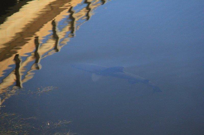 3m bull shark trapped