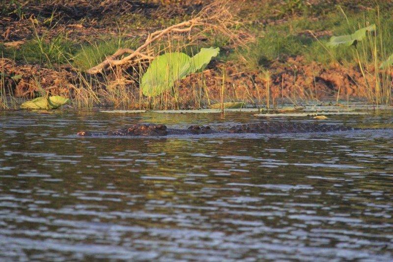 5m croc approaching us