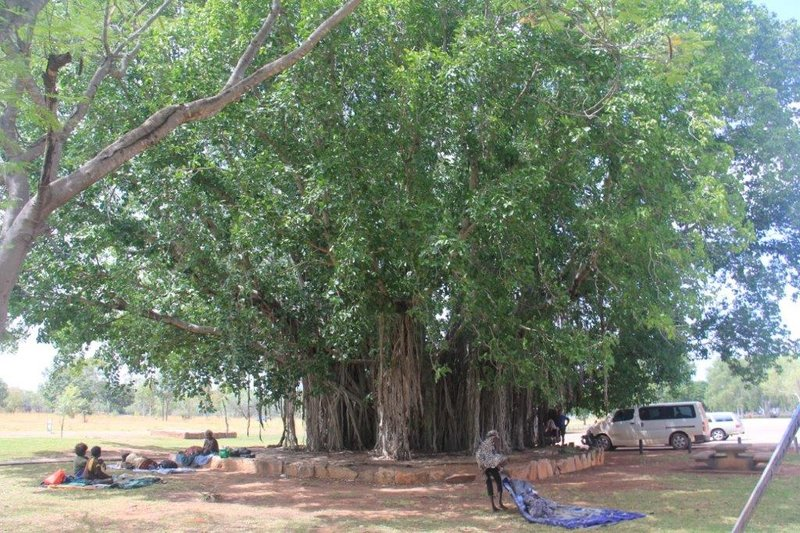 Aboriginal people under a massive fig tree in town