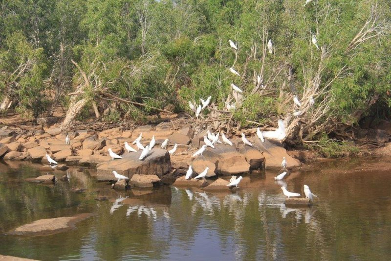 Around 150 Corella Cockatoos around us